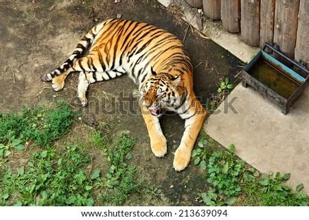 Siberian tiger (Panthera tigris altaica) soft focus - stock photo