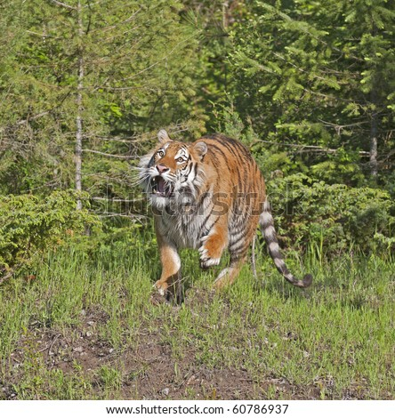 Siberian tiger (Panthera tigris altaica) stalks prey in the forest. - stock photo