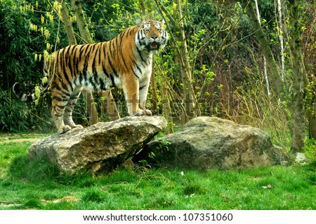 Siberian tiger (Panthera tigris altaica) standing on a rock - stock photo