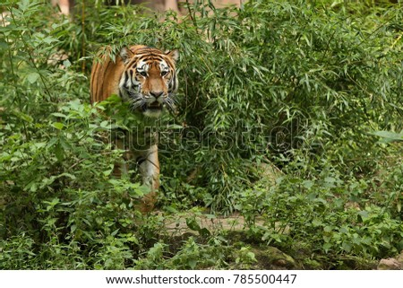 Siberian tiger, Panthera tigris altaica, walking in the grass directly to photographer. Dangereous predator in action. Tiger in green taiga habitat. Beautiful wild animal in captivity.