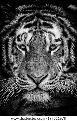 Siberian tiger portrait in black and white with high contrast - stock photo