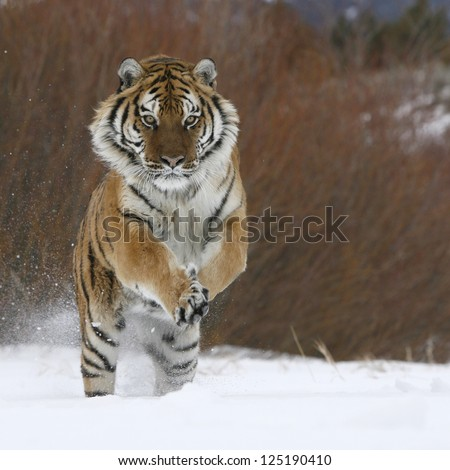 Siberian Tiger running in snow - stock photo