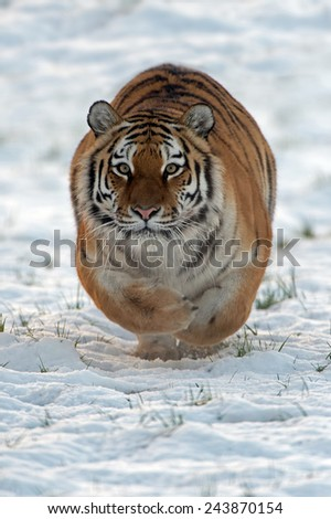 Siberian Tiger Running Through Snow/Amur Tiger Running Through Snow/Siberian Tiger (Panthera Tigris Altaica) - stock photo