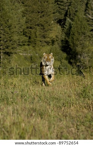 Siberian Tiger runs by the woods - stock photo