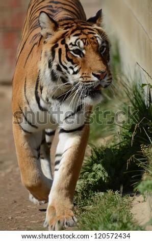 Siberian Tiger - Sibirischer Tiger - stock photo