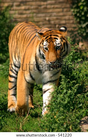 Siberian Tiger - soft focus