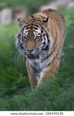 Siberian Tiger stalking through long grass/Amur Tiger/Siberian Tiger (Panthera Tigris Altaica) - stock photo