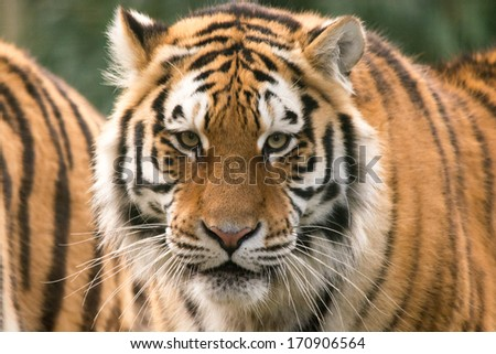 Siberian tiger starring - stock photo