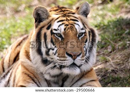 Siberian Tiger watching something. - stock photo
