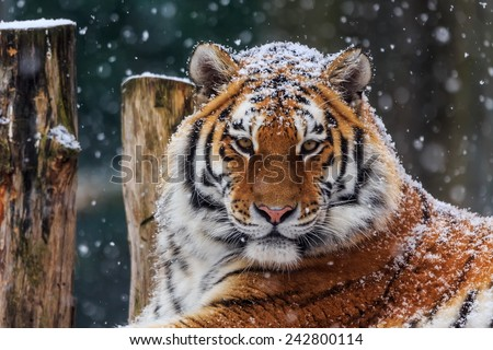 Siberian tiger with snow - stock photo