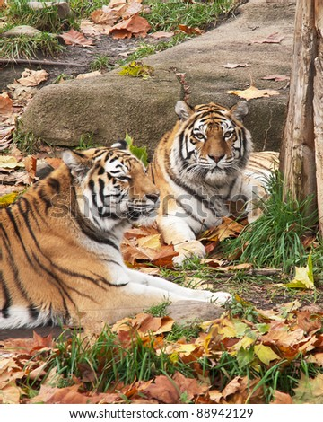 Siberian Tigers At Rest:  A pair of Siberian Tigers laying on the ground among the colorful fallen leaves of autumn - stock photo