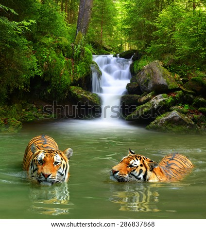 Siberian Tigers in water  - stock photo