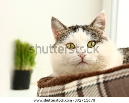 siberian tom cat cose up portrait in cat bed and grass in pot on the background - stock photo
