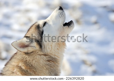 Siberian young husky dog portrait - stock photo