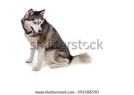 Siberien husky dog on a white background. - stock photo
