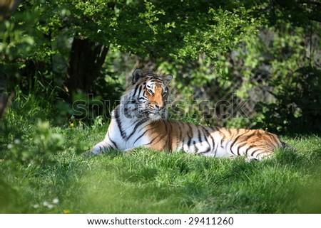 sibirian lion - stock photo