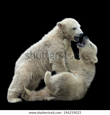 Sibling kiss of playing polar bear children, isolated on black background.