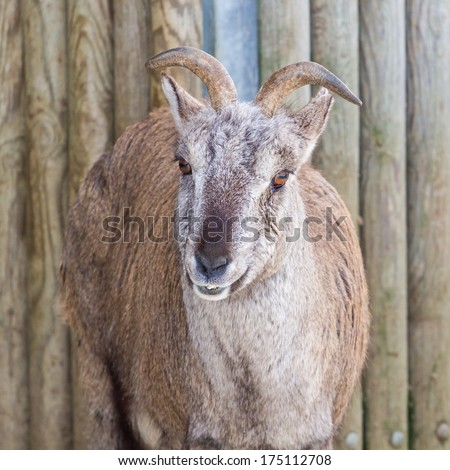 Sichuan blue sheep (bharal) close-up portrait with wooden background - stock photo