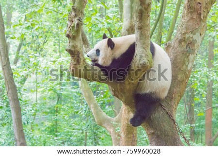 SICHUAN, CHINA - Apr 12 2016: Chengdu research base of giant panda breeding. a famous tourist Attraction in Chengdu, Sichuan, China.