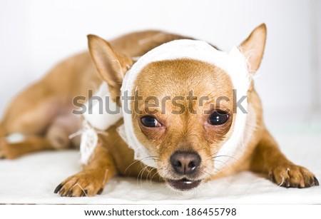 Sick chihuahua dog with bandages - stock photo