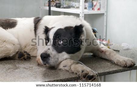 sick dog in a veterinary clinic - stock photo
