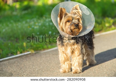 Sick dog wearing a funnel collar. Sick Yorkshire Terrier wearing a funnel (protective) collar, on nature background. Injured petite dog wearing protective dog collar outdoors. - stock photo