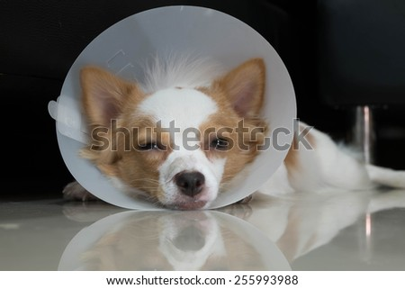 Sick dog with collar - stock photo