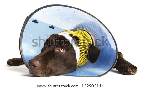 Sick dog with ear injury on white background - stock photo