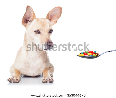 sick ill chihuahua dog  ,pills in a spoon,  isolated on white background