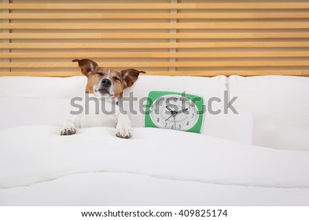 sick ill dog in bed sleeping or resting with clock and  dreaming   - stock photo
