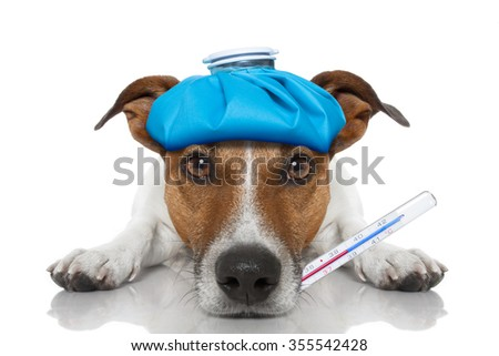 Sick ill dog with thermometer on mouth , ice pack on head , isolated on white background - stock photo
