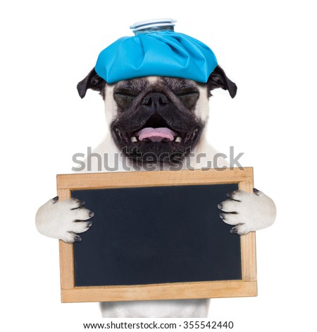 sick ill pug dog with placard or banner , suffering with ice bag on head isolated on white background - stock photo