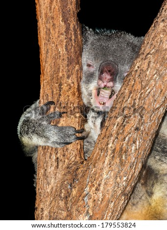 Sick koala in gum tree that has Koala retrovirus (KoRV) a retrovirus that is present in many populations of koalas. Infected koalas more susceptible to infectious disease and cancers.  - stock photo