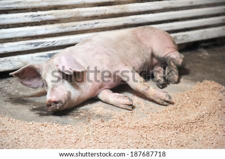 sick pig - stock photo