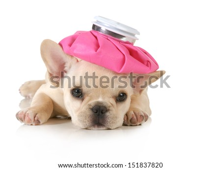 sick puppy - french bulldog with hot water bottle on head isolated on white background - stock photo