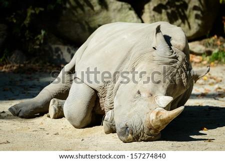 Sick Rhinoceros - stock photo