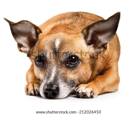 sick russian toy terrier lying in front. isolated on white background - stock photo