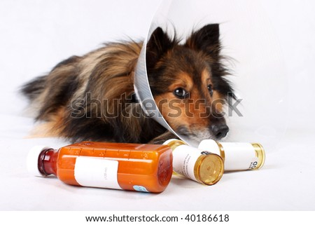 Sick Sheltie or Shetland sheepdog with dog cone collar and medicine bottles in the foreground (NOT ISOLATED) - stock photo