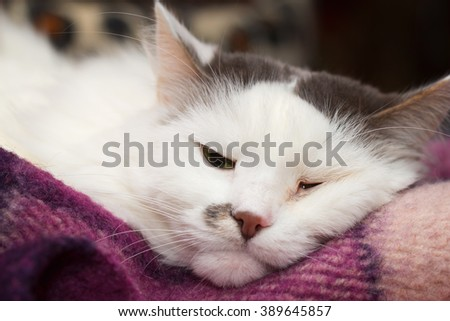 Sick turkish angora cat sleeping on the plaid
