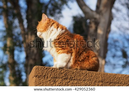 Side Angle Shot of Orange Bi Color Long Haired Doll Face Traditional Persian Cat Sitting on Ledge with Tree in Background - stock photo