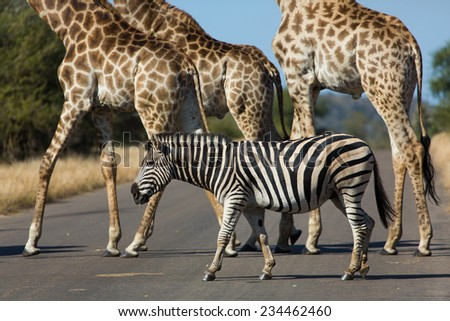 Side angle view of the bodies and legs of a herd of giraffe, Giraffa camelopardalis, and one zebra, Equus quagga, crossing a road in the Kruger National Park, South Africa. - stock photo