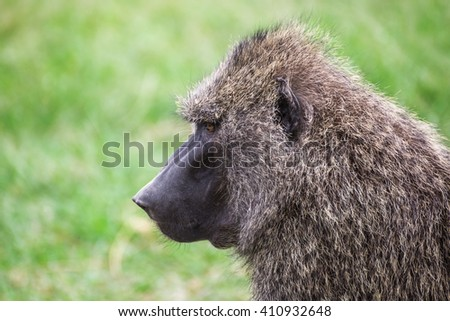 Side close-up view of a baboon in the Maasai Mara national park (Kenya)