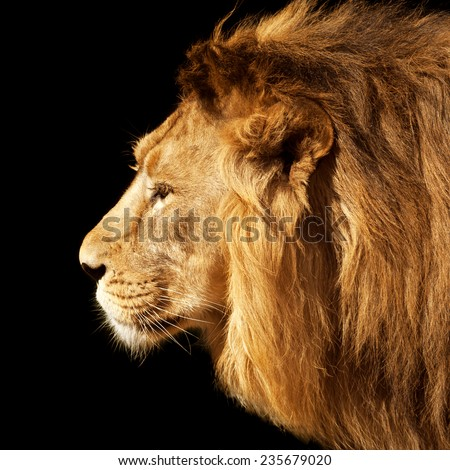 Side face portrait of a beautiful young Asian lion, isolated on black background. King of beasts. Wild beauty of the biggest cat. The most dangerous and mighty predator of the world. - stock photo