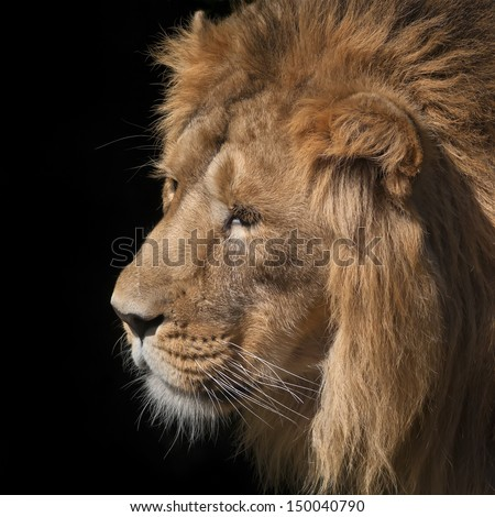 Side face portrait of an sunlit Asian lion on black background. Wild beauty of the biggest cat. The head with splendid mane of the King of beasts. - stock photo