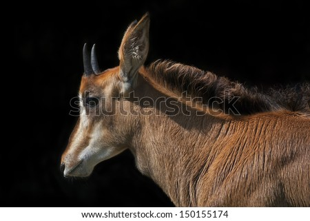 Side face portrait of an young sable antelope female, isolated on black background. The head, neck and shoulder with splendid mane of the beautiful African girl. - stock photo