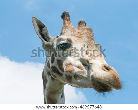 side giraffe head on blue sky background