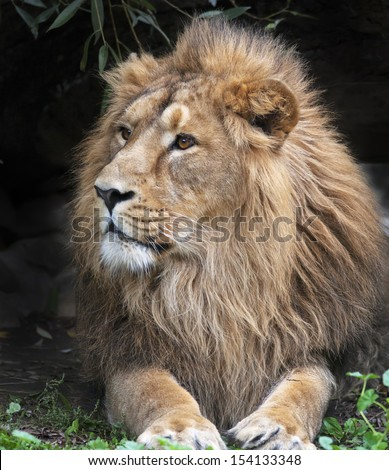 Side look of an Asian lion, resting in forest shadow. The King of beasts, biggest cat of the world. The most dangerous and mighty predator of the world. Wild beauty of the nature.