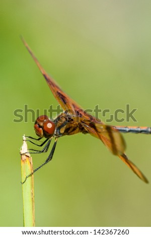 Side macro view of brown dragonfly on plant, green nature background.