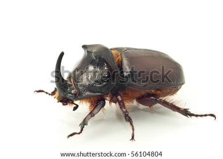 Side macro view of rhinoceros or unicorn beetle over white background (shallow DOF) - stock photo