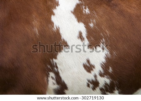 side of cow with white pattern on reddish brown hide